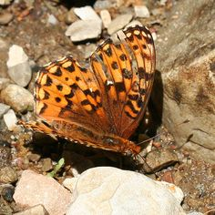 Orange and black butterfly - Speyeria zerene - BugGuide.Net