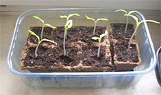Tomaten anbauen selber ziehen Tomaten einpflanzen