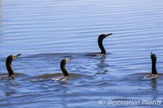 Neotropic Cormorant group of birds in the blue lake hunting