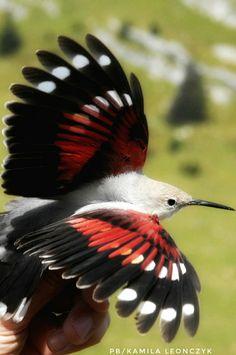 Wallcreeper Mauerläufer Pomurnik (Tichodroma muraria) The wallcreeper (Tichodroma muraria) is a small passerine bird found throughout the high mountains of Eurasia. It is the only member of the genus Tichodroma. birds vögel ptaki