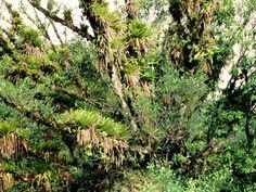 site de las Bromelias nativas en Brasil - Pesquisa Google                                                                                                                                                                                 Mais