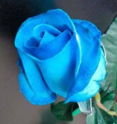 ideas wedding garden blue beautiful flowers for 2019 Special Flowers, All Flowers, Flowers Nature, Exotic Flowers, Amazing Flowers, Pretty Roses, Beautiful Roses, Rose Reference, Rose Tattoos For Women