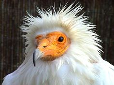 Aufrany - Alimoche común - Neophron percnopterus - Egyptian Vulture