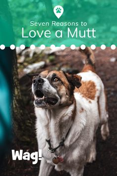 Mutts can be just as loyal, affectionate, and intelligent as purebred dogs, so if you're looking to add a four-legged member to the family, why not welcome a mixed-breed pup into your home? Here are seven ways a mutt can steal your heart! #mutts #top7 #mut #love #lovedogs #countdown #mixedbreed #mixbreeds #loving #sweet #rescue #wag #wagwalking Popular Dog Breeds, Purebred Dogs, Mixed Breed, Four Legged, Dog Love, Pup, Heart, Sweet, Animals