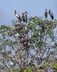2015 Photograph, Asian Openbill Stork Rookery (Anastomus oscitans), Si Satchanalai Historical Park, Si Satchanalai, Sukhothai Province, Thailand, © 2016.  ภาพถ่าย ๒๕๕๘ ฝูงอีกาของนกปากห่าง อุทยานประวัติศาสตร์ศรีสัชนาลัย ศรีสัชนาลัย จังหวัดสุโขทัย ประเทศไทย