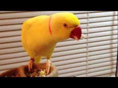Ringneck Parrot Bowie Loves His Rice! #Parrots #AvianEnrichment