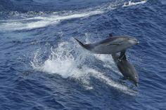 Ultime humiliation pour l'Ukraine: ses dauphins de combat nagent pour la Russie - International - Actualité - LeVif.be