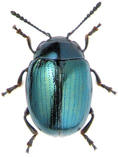 Chrysomelidae: Phaedon armoraciae // macro photo by KV Makarov, 2006