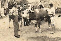 A jószág volt az aranya a népnek. Cow, Moose Art, Animals, Rustic Kitchens, Animales, Animaux, Animais, Stuffing, Animal