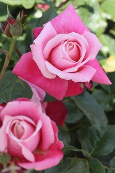 Rose Princess Chichibu.