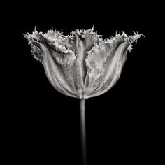 Tulip, Fancy Frills