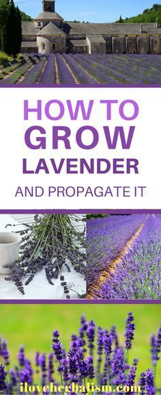 How to Grow Lavender and Propagate it!