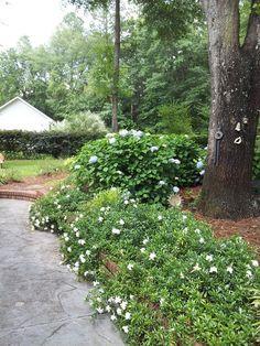 Gardenia augusta Radicans Plant wish list Pinterest Dwarf