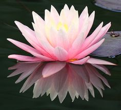 The lotus -  begins in the depths of the mud and muck but slowly makes it way towards the sun thus bursting with color through the ugly and into the beautiful.  Inspiring indeed.