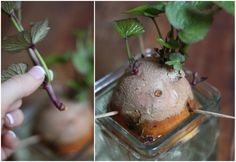 Sprouting sweet potatoes!   How to use a sweet potato to sprout & grow new ones. Also, a natural sweet potato dog treat.