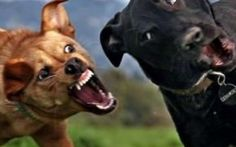 Perchè i cani litigano, e come evitare le risse tra cani Tutti i cani prima o poi, finiranno con litigare con un proprio simile è importante conoscere i motivi per i quali nascono le risse tra cani, come evitarle e come intervenire nel modo corretto #cani #addestramento #cinofilia
