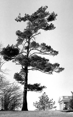 Late Pine Woodbridge, Ontario, Canada - 1987  Scan of an old T-Max 100 negative. I could be wrong but, by looking on Google Earth, it seems that this tree is not there anymore!