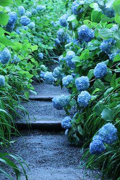 garden path and hydrangeas