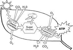 Photosynthesis Chloroplast Structure and Function leaf diagram - Biologycorner.com