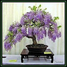 Seeds - 5 Wisteria sinensis - Chinese Wisteria Bonsai Seeds + Free Seeds & Bonsai eBook - Exotic was listed for on 18 Sep at by Seeds and All in Port Elizabeth Wisteria Trellis, Wisteria Bonsai, Purple Wisteria, Bonsai Garden, Garden Plants, House Plants, Purple Flowers, Wisteria Wedding, Fruit Garden