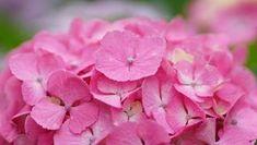 Ορτανσία | Συμβουλές → Φροντίδα → Περιποίηση | eflowers.gr Seeds, Home And Garden, Rose, Flowers, Plants, Punch, Gardening, Diy, Garten
