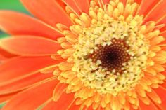 Shop for beautiful art from Jeelan Clark. All beautiful artwork ships within 48 hours and includes a money-back guarantee. Choose your favorite beautiful designs and purchase them as wall art, home decor, phone cases, tote bags, and more! Chrysanthemum Flower, Gerbera, Beautiful Artwork, Art For Sale, Fine Art America, Bloom, Wall Art, Artist, Flowers