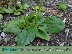 Plantain: The Pharmacy in the Sidewalks