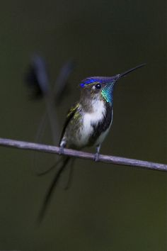 """Marvelous Spatuletail (Loddigesia mirabilis).       (""""Loddigésie admirable - Loddigesia mirabilis."""")     Google search: """"The Marvelous Spatuletail (Scientific name:Loddigesia mirabilis) is a medium-sized white, green, & bronze Hummingbird adorned with blue crest feathers, a brilliant turquoise gorget, & a black line on its white underparts. It is the only member of the monotypic genus Loddigesia.Wikipedia."""""""