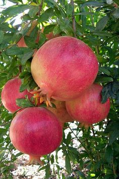 Jewish tradition teaches that the pomegranate is a symbol of righteousness because it is said to have 613 seeds, which corresponds with the 613 mitzvot Fruit And Veg, Fruits And Vegetables, Fresh Fruit, Photo Fruit, Fruit Photography, Grenade, Beautiful Fruits, Tropical Fruits, Delicious Fruit