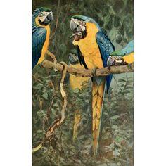 Brehms Tierleben 1911 Bl & Ylw Macaw Canvas Art - FW Kuhnert (18 x 24)