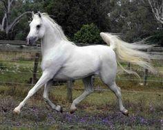Arabian horses evoking the magic