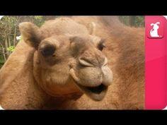 Bindi & Robert Irwin feature - Camels (Delilah) - Growing Up Wild