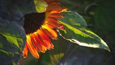 Sunflower catching the last rays of summer   photo by Judy Leila Schafers