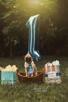 Bilo's first birthday pictures! Who says your dog doesn't need annual birthday pictures? Dog First Birthday, Puppy Birthday Parties, Puppy Party, Birthday Pug, Birthday Ideas, Happy Birthday, Dog Photos, Dog Pictures, Pugs