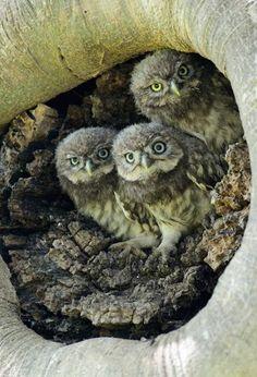 owl triplets