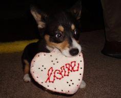 LOVE! #corgi