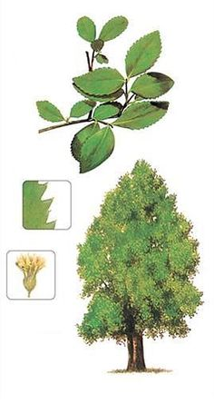 Los Coigües del Sur Plant Drawing, Nature Tree, Fauna, Herbs, Drawings, Patagonia, Chile, Google Search, Gardens
