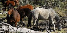 Wild horses - NSW Snowy Mountains.    The wild horses have roamed the Snowy Mountains since the late 1800's and were in the area when the pristine Snowy Mountains were declared a National Park in the 1940's. The NSW Department of Environment want to ge wow mountains of joy
