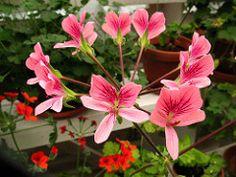 Pelargonium fulgidum CP x Pelargonium oblongatum (pella2011) Tags: pelargoniumspecieshybrid