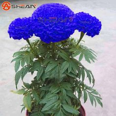 Cheap seed bonsai, Buy Quality seeds cheap directly from China seed tree Suppliers:                    Welcome      Please note: The minimum order quantity: 1  When the total amount of