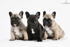 I am a cute French Bulldog puppy, looking for a home on NextDayPets.com!