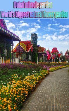 Dubai miracle garden World's biggest natural flower garden