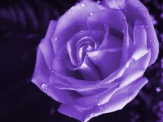 Whereas the purple rose also means that someone fallen in love at very first sight. Description from wallpaperswala.com. I searched for this on bing.com/images