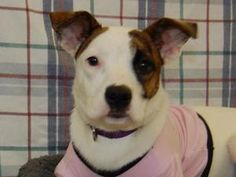 Oleander is an adoptable Boxer Dog in Richmond, IN. Oleander is a beautiful Boxer/Jack Russel mix that was born sometime in September 2012. She is a cute and loving girl who will be a medium to small ...