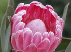 Protea compacta hybrid Stately makes a beautiful hedge with gorgeous deep pink winter blooms. Ideal for hedges cut flowers and is bird attracting. Cut Flowers, Wild Flowers, Garden Express, Online Nursery, Australian Plants, Fertilizer For Plants, Simple Art, Easy Art, Seed Pods