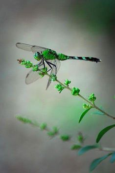 Green Dragonfly by Tracy Smith. Saw this same green Dragonfly when Mom died and when she was buried. It stayed with me all day when she passed. Dragonfly Photos, Dragonfly Art, Dragonfly Tattoo, Dragonfly Symbolism, Dragonfly Painting, Butterfly Photos, Beautiful Bugs, Beautiful Butterflies, Horse Caballo