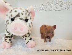 Mini & Micro Juliana Baby Pigs For Sale - Mini Pocket Pigs : Mini Pocket Pigs Baby Pigs For Sale, Cute Baby Pigs, Cute Babies, Micro Piglets, Pocket Pig, Mini Pig, Indoor Pets, Pet Pigs, Animals