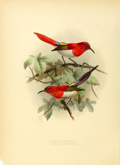 A monograph of the Nectariniidae, or, Family of...