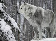 beyaz kurt resimleri ile ilgili görsel sonucu