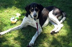 I loved our walkers. They were Wonderful coon dogs and so smart. (Treeing Walker Coon Hound)